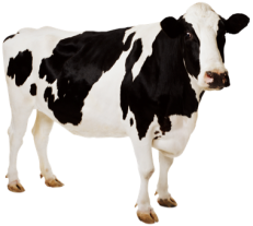 cow_PNG2132